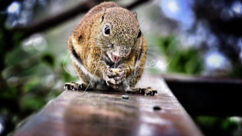 Squirrel, Mount Kinabalu, Sabah